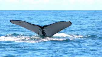 Whale Offshore Herradura Beach